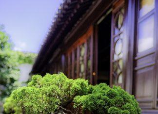 Ziemia do bonsai
